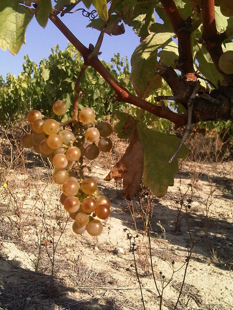Abando-white-grapes-2-01oct